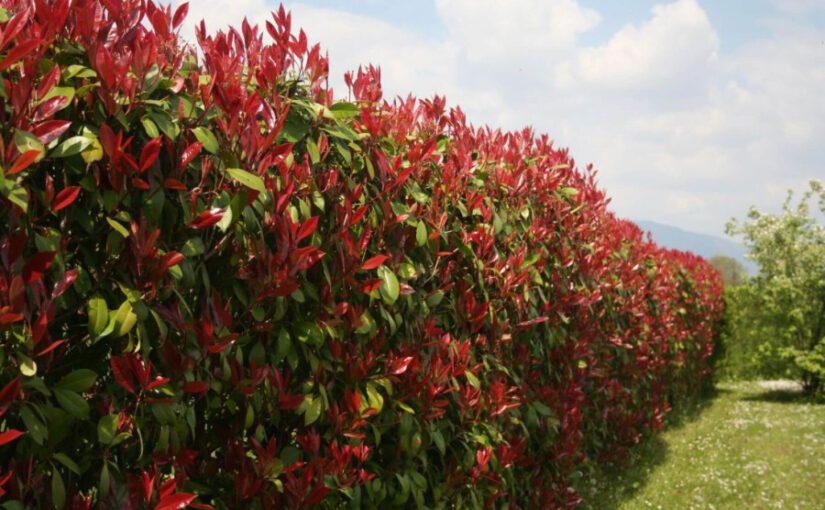 Glansmispels: ideaal als natuurlijke haag of als losse tuinplant