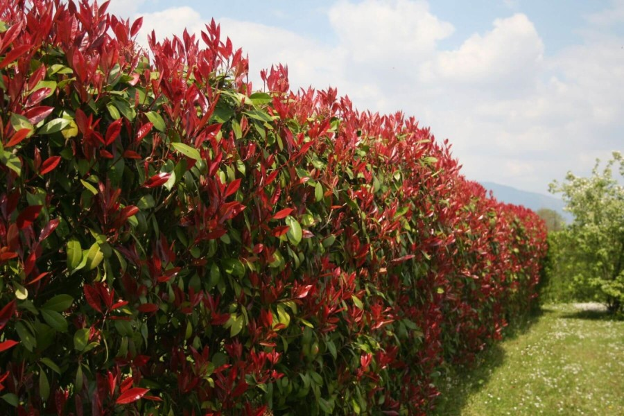 Photinia Fraseri Red Robin